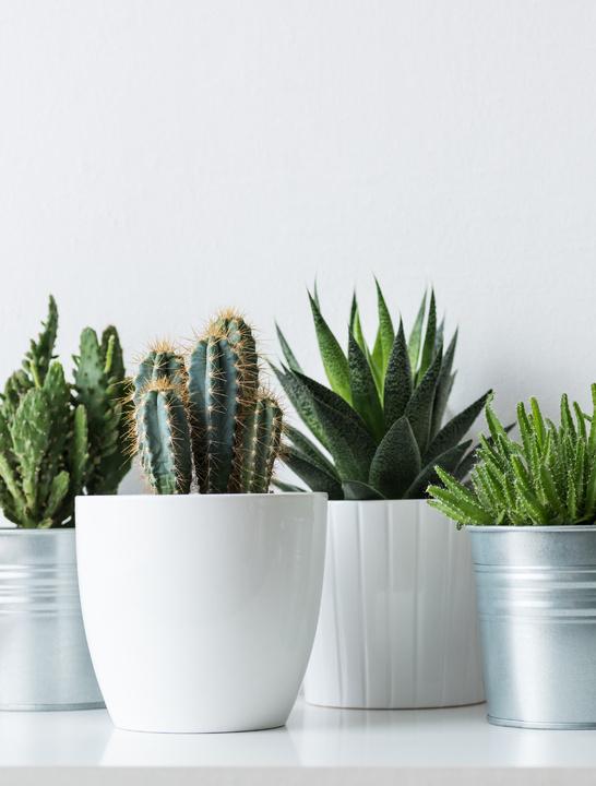 Plantas: Cactus